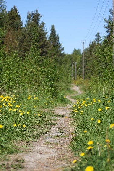 Finland Genealogy by popular US online genealogists, Price Genealogy: image of a dirt trail surrounded by trees and dandelions.